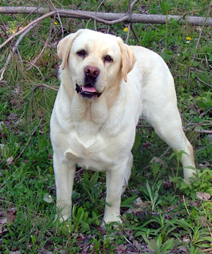 Yellow Labrador Puppies For Sale in Ohio
