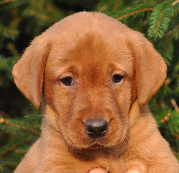 The gallery for --> Female Red Golden Retrievers Ear Mites In Golden Retrievers
