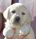 Labrador Puppies For Sale - Dog Breeders in Ohio | Amber Sky Farms