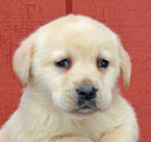 Labrador Puppies for Sale